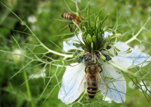 Bee Pollen Untuk Kesehatan