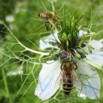 Bee Polen Untuk Kesehatan